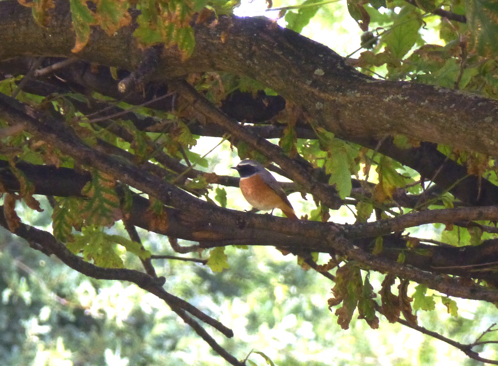 A Redstart spotted at Mudchute. Photo via John Archer.