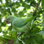 Rink-necked parakeets (Psittacula krameri) have naturalised across the UK.