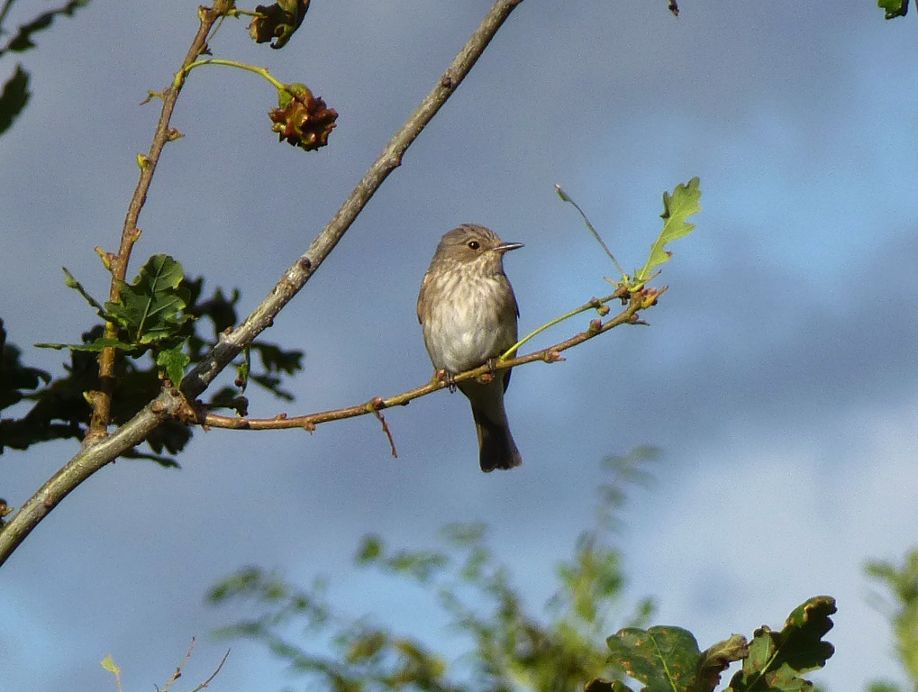 A Spotted Flycatcher spotted at Mudchute. Photo via John Archer.