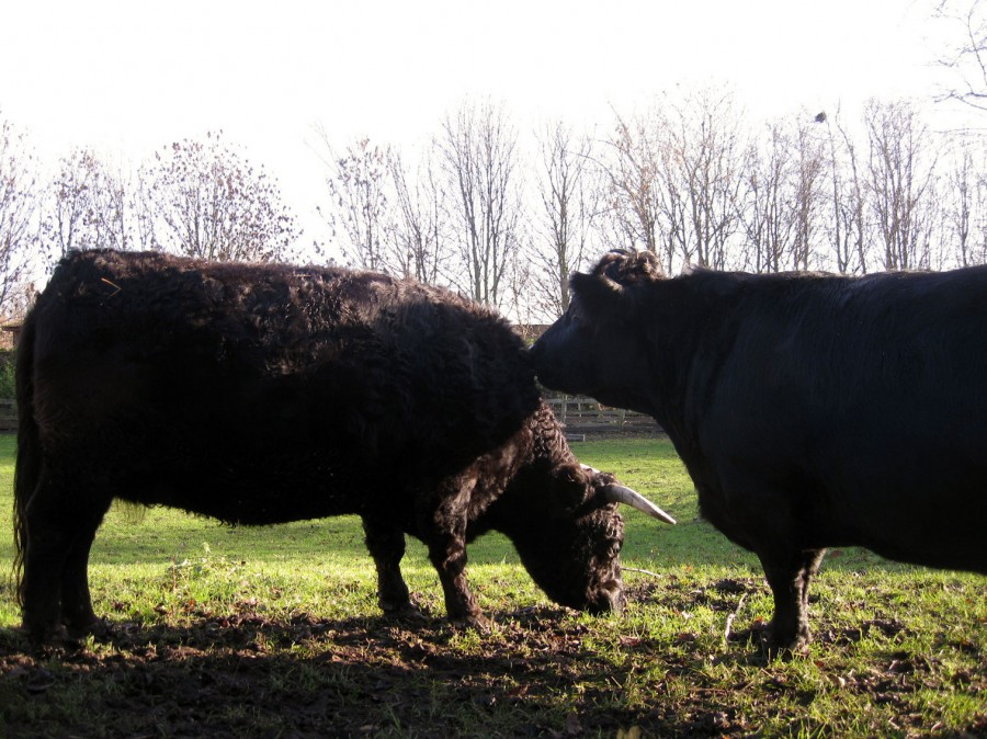 Although our cows are black, Dexters also come in red and dun.