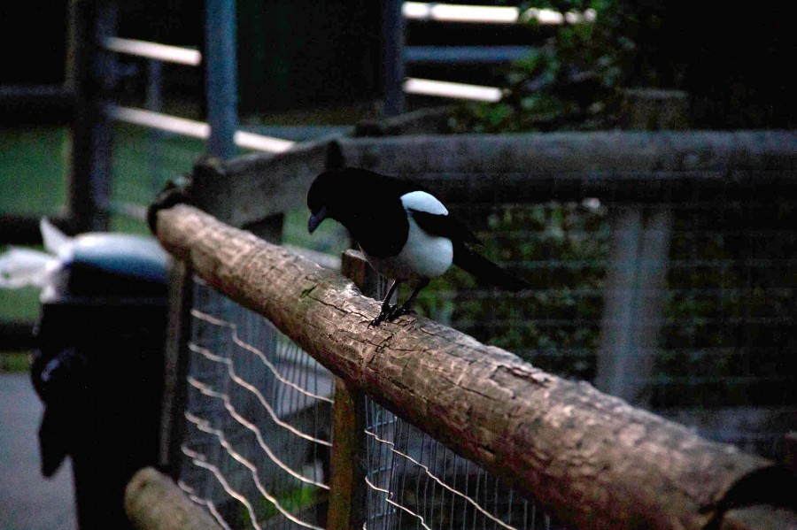 A Magpie pauses on the fence.