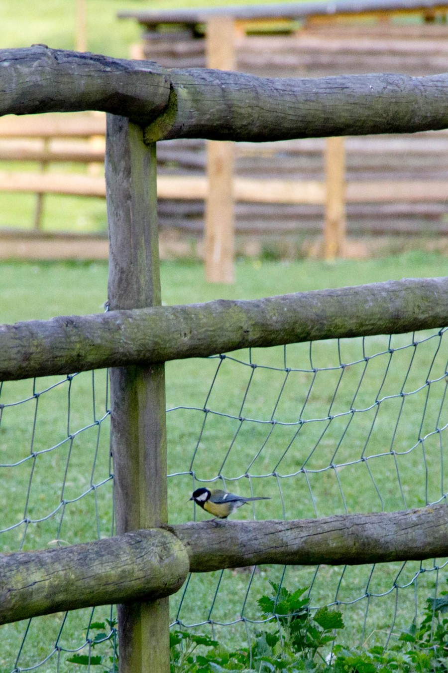 A Great Tit rests on a fence.