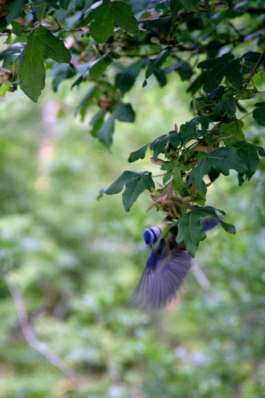 A Blue Tit (Cyanistes caeruleus) gleans prey from the leaves.