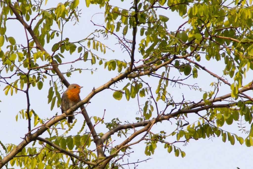 Robins were heard singing across the farm.