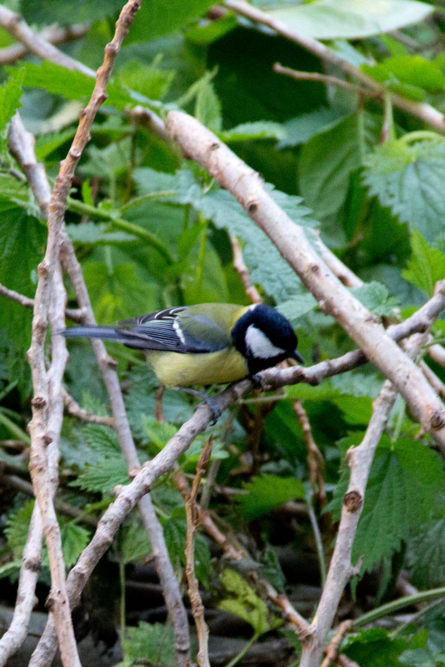 A Great Tit (Parus major) foraging following the dawn chorus.