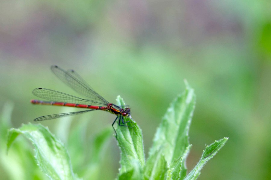 A large red damselfly visits the ponds.