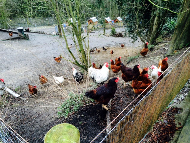 Happy free-range chickens raised on organic breeders pellets.