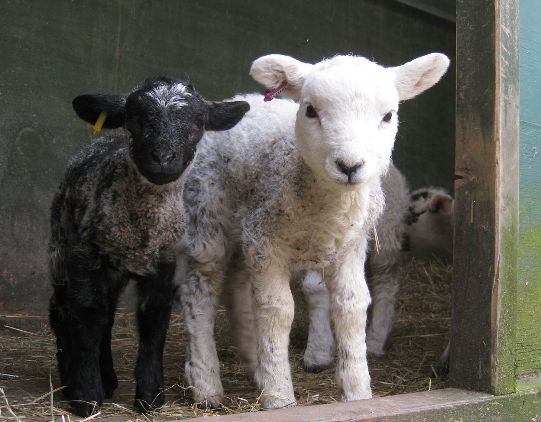 Meet the Lambs! | Mudchute Park & Farm blog