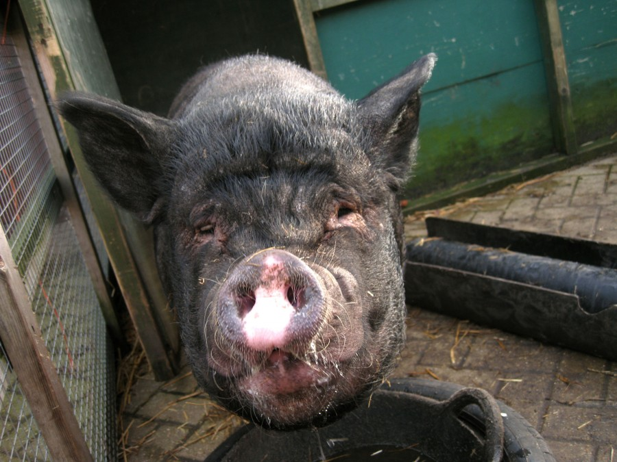 Pot-belled pigs have distinctive pointed ears unlike our other pigs.
