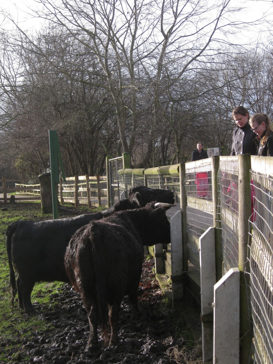 Our cows greeting visitors.