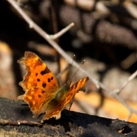This comma is one of many butterflies on the wing.