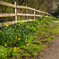 Daffodils line the paths.