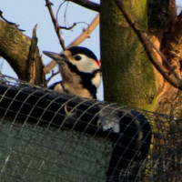 A cheeky woodpecker.