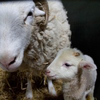 Lamb and mum!
