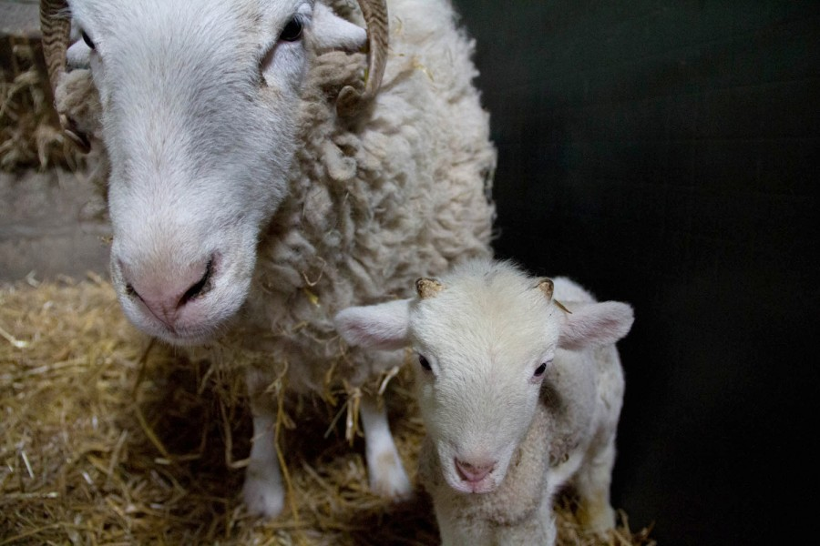 Despite being less than a week old, the lamb has tiny horn buds.