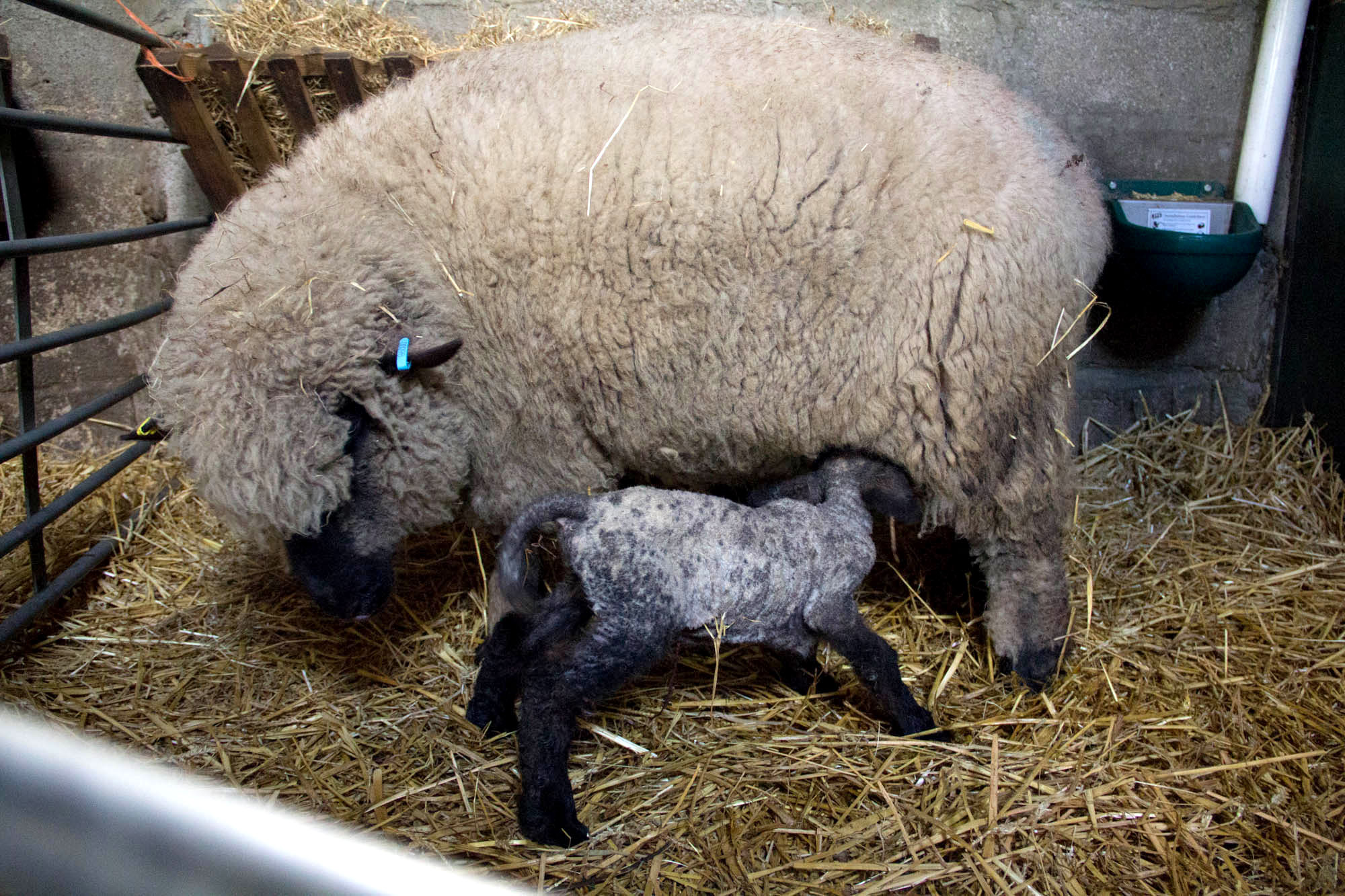 The new lambs are now nursing well.