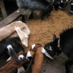 The goats rushing to get their fill.