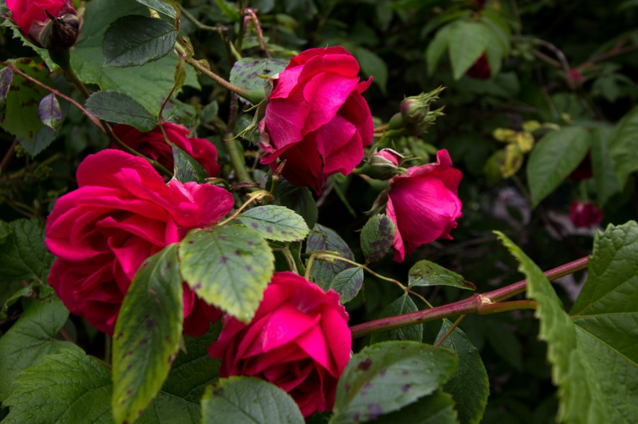 Roses of all varieties are in bloom across the farm.