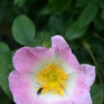 A flower beetle on rose.