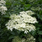 Elderflower in bloom.
