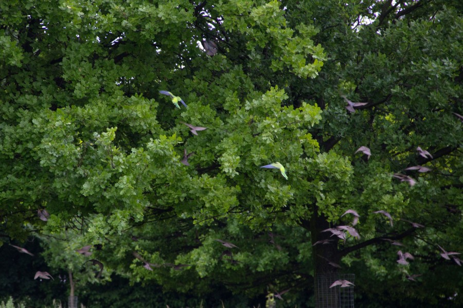 Young starlings and monk parakeets forage among the short grass.