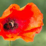 A bumblebee on poppy.