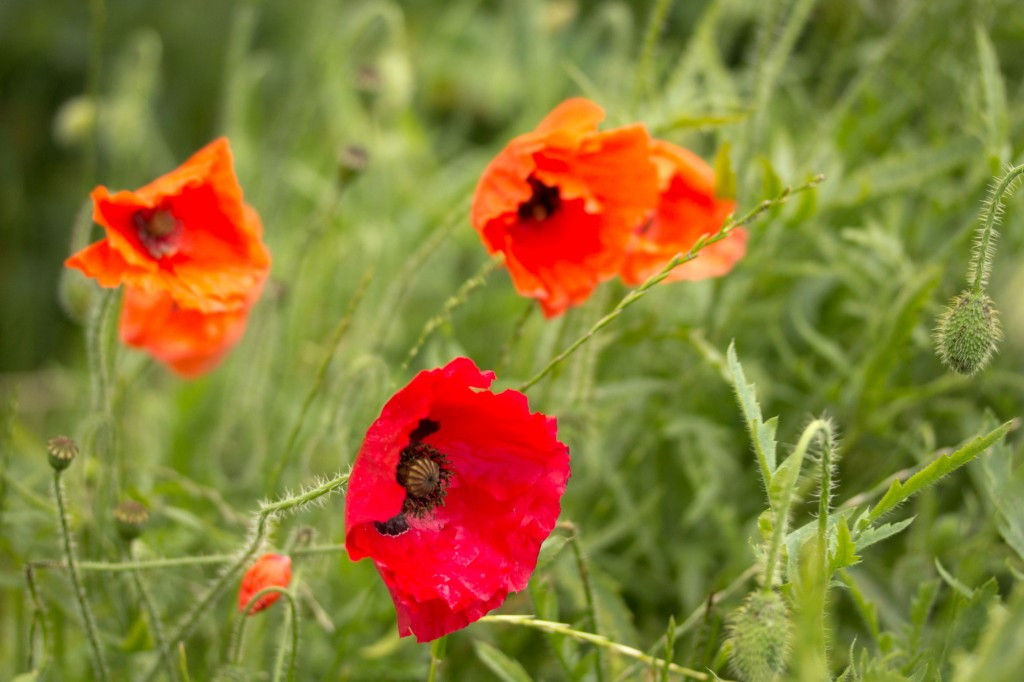 Poppies in bloom.
