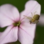 A crab spider preys on would-be pollinators.