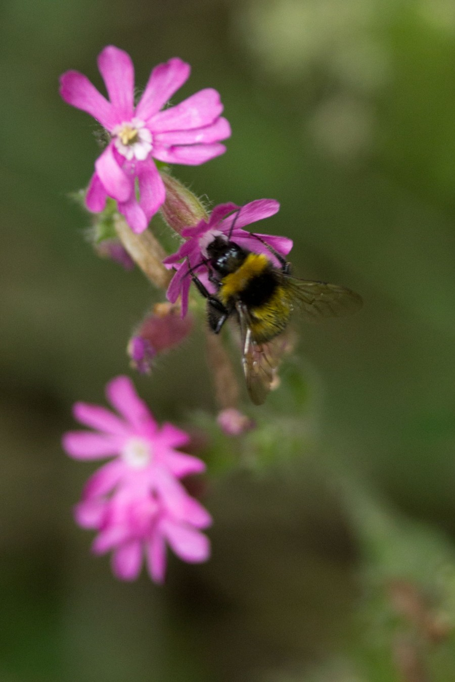 A bumblebee on red campion.