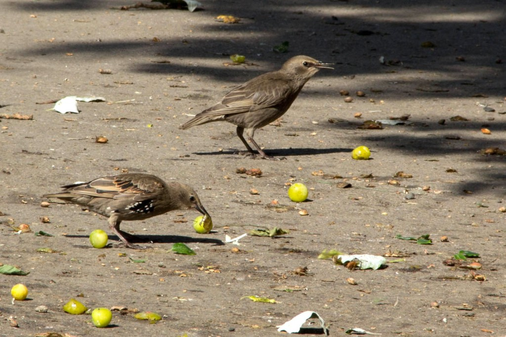 Juvenile starlings feed on the fallen fruits.
