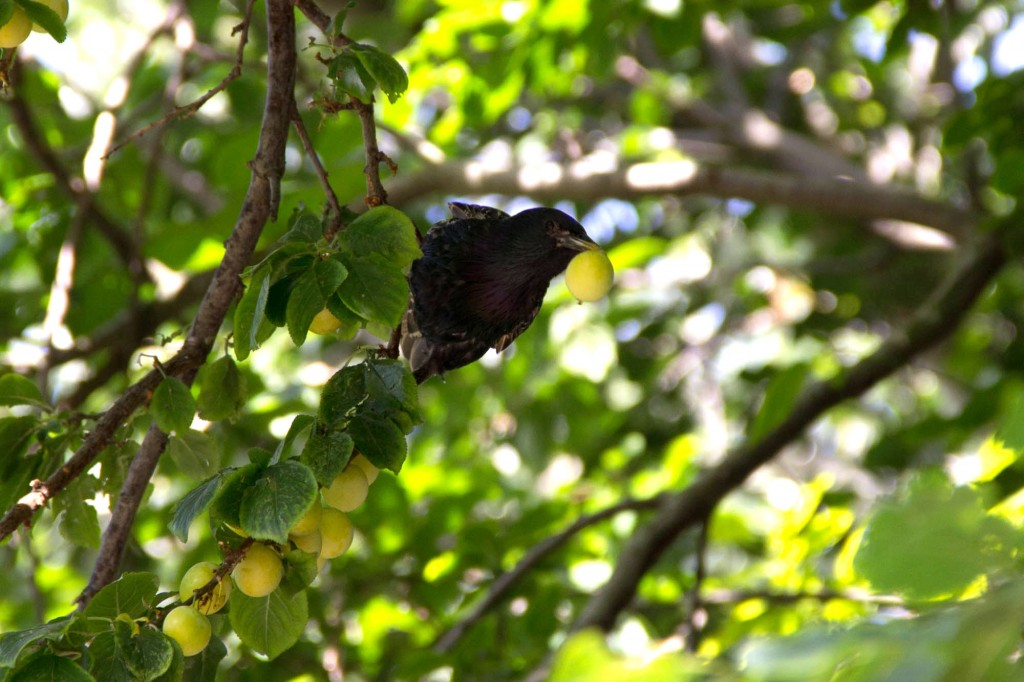 An adult starling plucks an unripe plum from the trees.