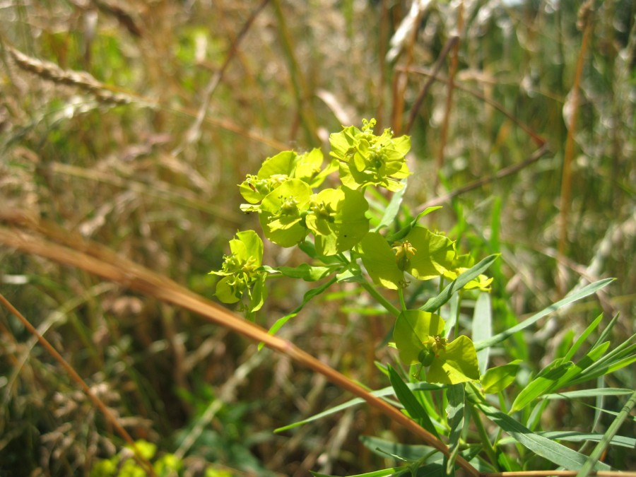 Spurge in flower.