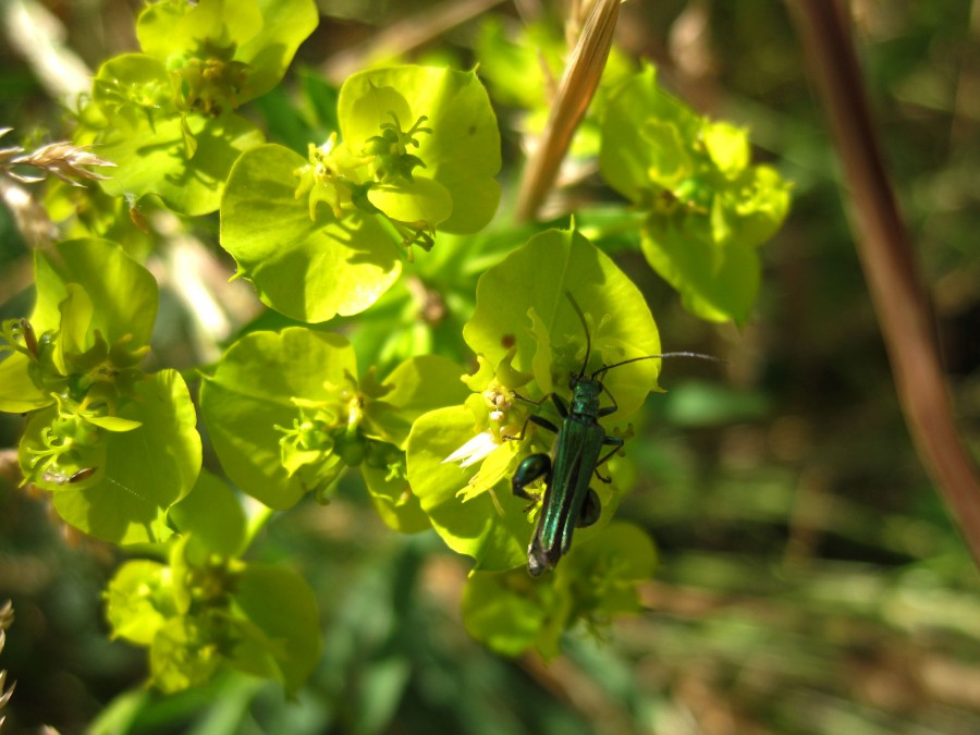 A thick-legged flower beetle on spurge.