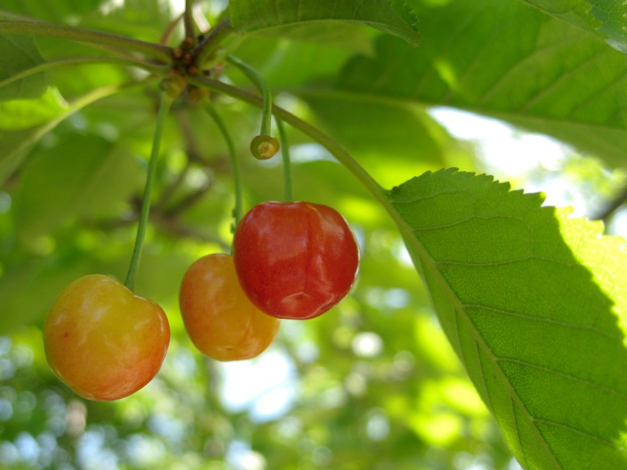 Many of spring's cherry blossoms are now developing into fruit.