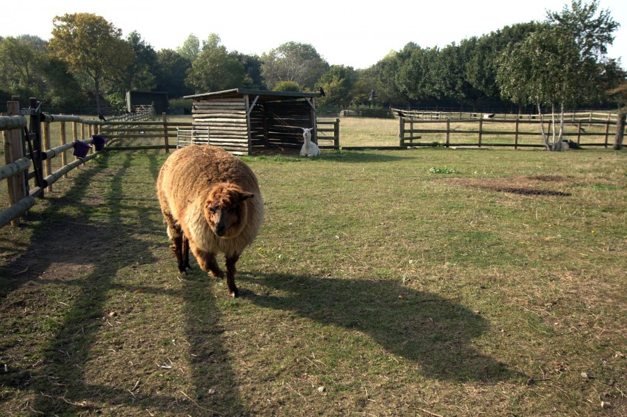 Our alpacas are dwarved by their lengthening shadows.