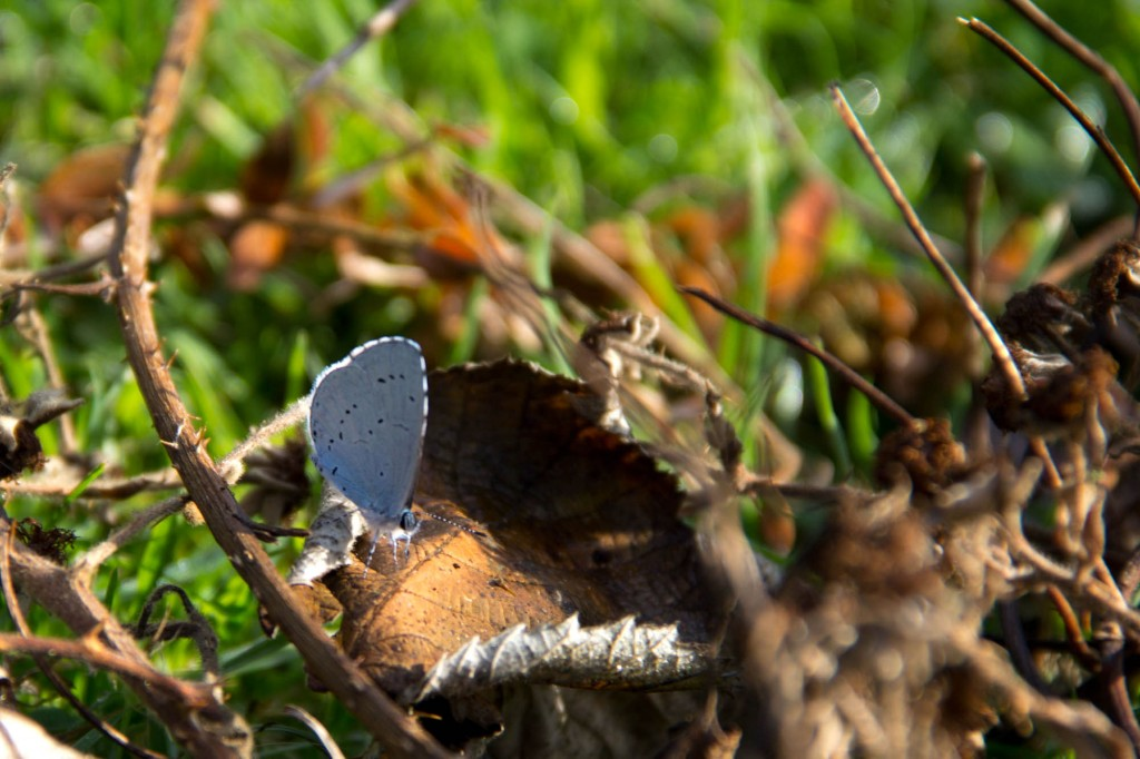 A bit of summer and autumn. A common blue butterfly on fallen leaves.