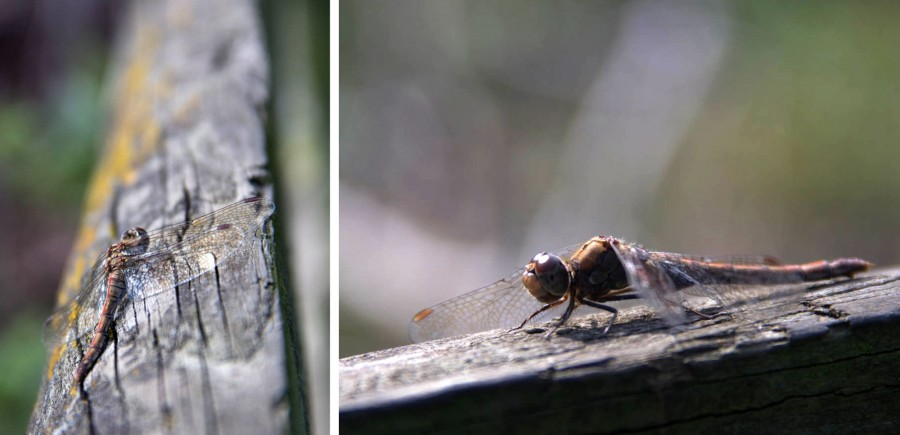 Drafgonflies can still be seen hunting on warm days.