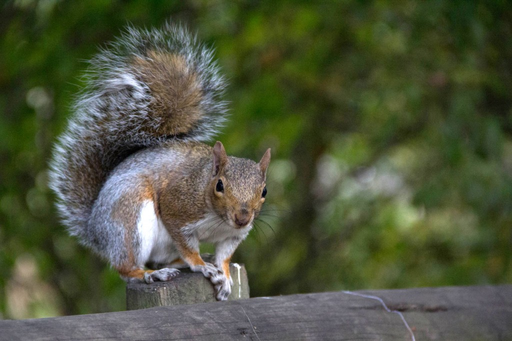 Grey squirrels are busy across the farm, scuffling through leaf litter as they cache fruits and nuts.