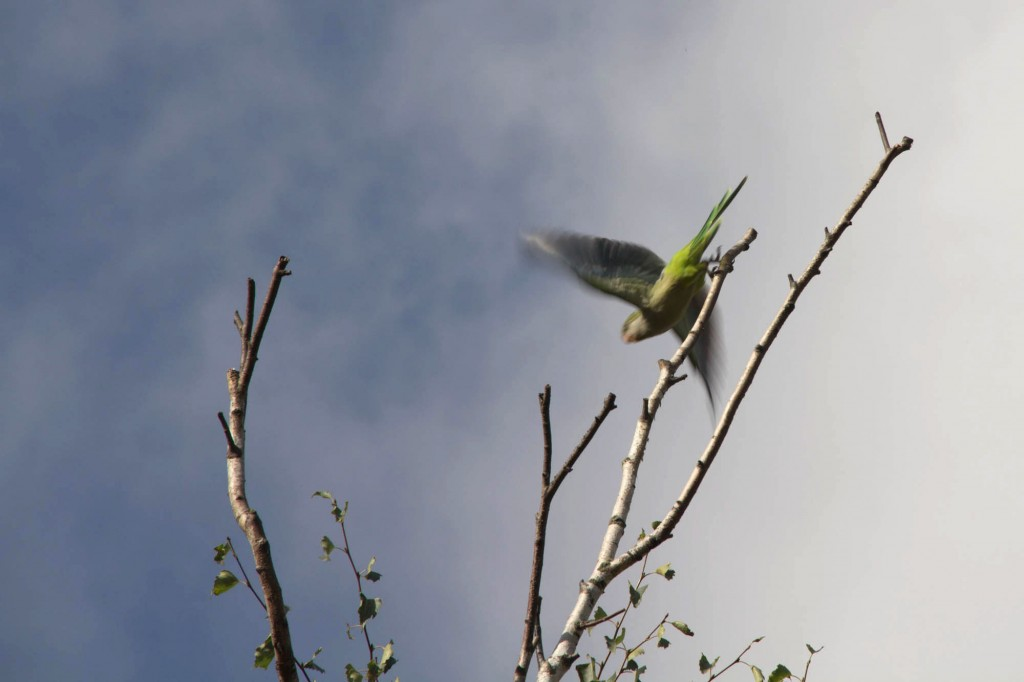 As the trees lose their leaves, birds like the monk parakeet can be seen high on their perches.