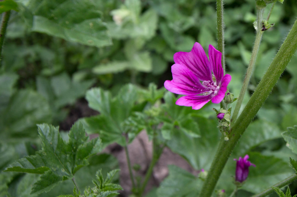 Common Mallow is among several of the plants currently in flower.