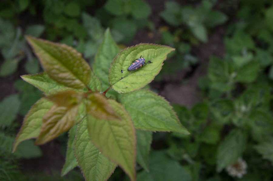 Invertebrates such as this ladybird larva have also moved onto the mound and we found evidence of fox activity as well.