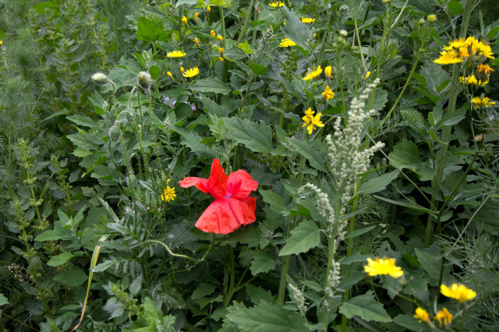 Field and Opium poppies are also in flower, alongside the yellow flowers of Nipplewort.