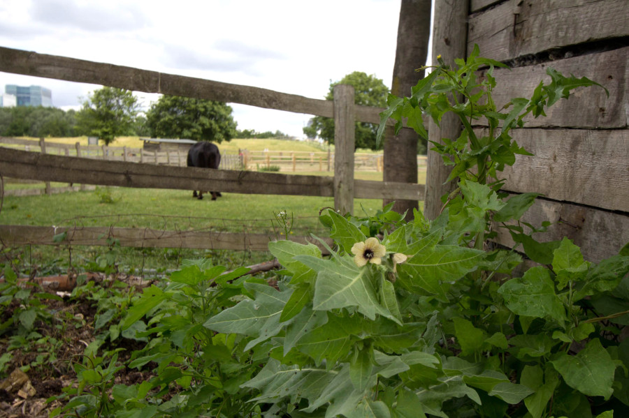 Henbane and Sowthistle are among the many plants establishing themselves.