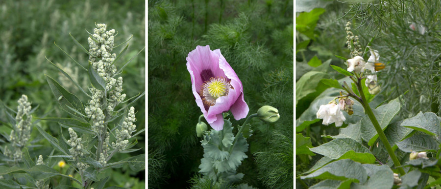 Flowering Fat Hen, Poppy and Potato (perhaps an allotment escapee!).