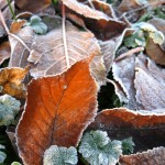 Morning frost on fallen leaves.