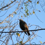 A European starling on its sunny perch.