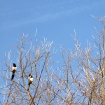 Magpies perched high up in the tops of trees.