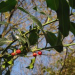 Holly is an important source of winter berries for frugivorous (fruit-eating) birds.