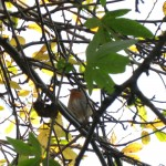 A robin, hiding among the few remaining leaves.