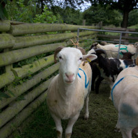 Our racing sheep, waiting for the start.